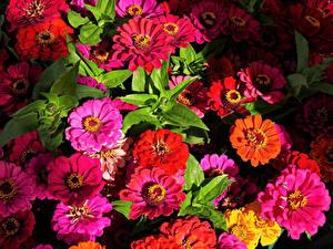 Фотографии Майоры Вблизи Разноцветные цветок