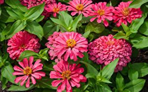 Фотографии Циннии Вблизи Розовые цветок