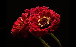 Картинки Циннии Крупным планом Красный На черном фоне цветок
