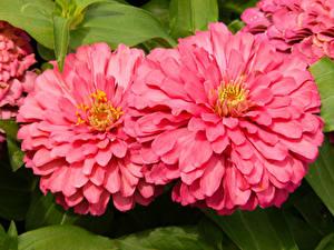 Фотография Циннии Крупным планом 2 Розовый Цветы