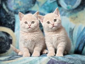 Фото Кошки Британская короткошёрстная Двое Котенок Смотрят животное