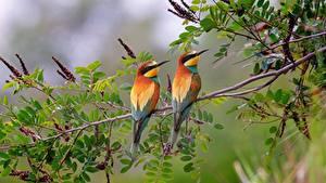 Картинки Птица 2 Ветвь European bee-eater животное