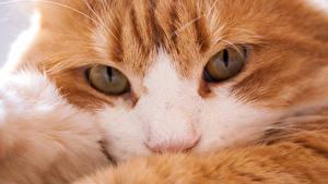 Фото Кот Крупным планом Макросъёмка Глаза Рыжая Взгляд Морда Животные