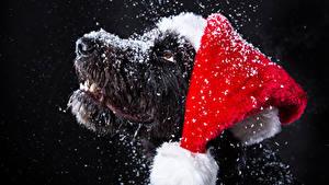 Фотография Новый год Собаки На черном фоне Морды Снеге Шапки Животные