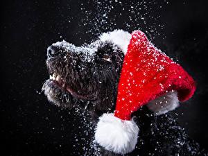 Фотография Новый год Собаки Черный фон Морды Снеге Шапки Животные