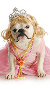 Фотографии Собака Украшения Корона Белый фон Бульдога Смешной Платья Животные