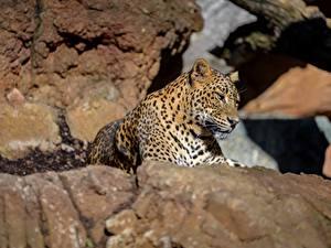 Картинка Камень Леопарды Лежа животное