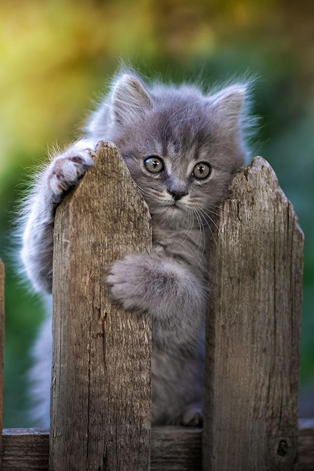 Картинка коты серая Лапы Забор Взгляд Животные 640x960 для мобильного телефона кот Кошки кошка Серый серые лап ограда забора забором смотрит смотрят животное