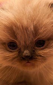 Обои Кошки Глаза Котят Морды