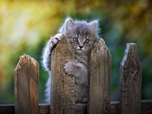 Картинка Коты Серая Забор Лапы Взгляд Животные