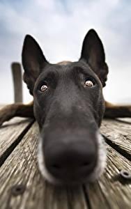 Фото Собака Вблизи Нос Морда Взгляд Бельгийская овчарка Животные