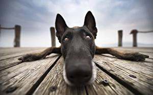 Фото Собака Вблизи Нос Морда Взгляд Бельгийская овчарка