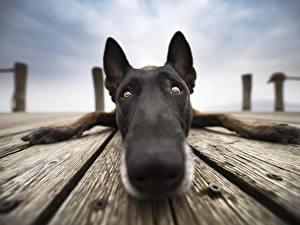 Обои для рабочего стола Собака Вблизи Нос Морда Взгляд Бельгийская овчарка Животные