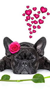 Фотография Собаки Мопс Черный Белый фон Сердце Животные