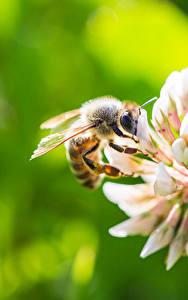 Картинка Пчелы Вблизи Боке животное