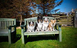 Фото Собаки Скамейка Колли Сидит Животные
