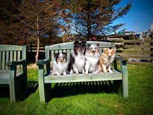 Фото Собаки Скамья Колли Сидящие Животные
