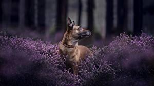 Фото Собаки Овчарки Бельгийская овчарка Malinois животное