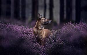 Фото Собаки Овчарки Бельгийская овчарка Malinois