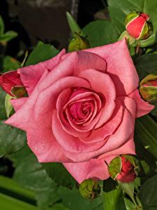 Фотография Розы Вблизи Розовый цветок