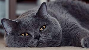 Фото Кошки Британская короткошёрстная Серый Смотрят Морда животное