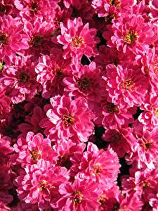 Фото Хризантемы Много Крупным планом Розовые Цветы