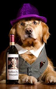 Фотография Собаки Черный фон Ретривера Бутылка Шляпы Очках Животные