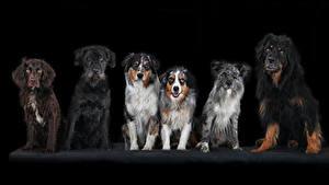 Картинка Собаки На черном фоне Спаниеля Животные