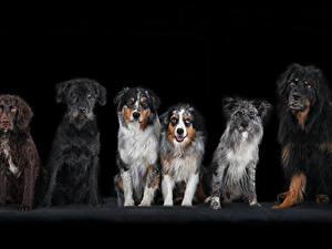 Картинка Собаки Черный фон Спаниеля Животные