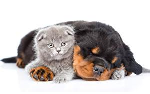 Фотографии Собаки Кошки Ротвейлер Белым фоном Два Щенок Котята Спят животное