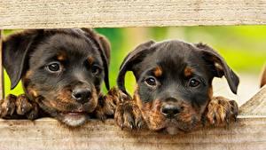 Обои для рабочего стола Собака Ротвейлер Доски Вдвоем Щенки Лапы Морды Взгляд Животные