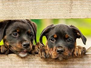 Фотография Собака Ротвейлер Доски Вдвоем Щенки Лапы Морды Взгляд Животные