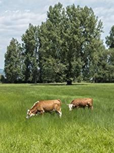 Фото Луга Корова Лето Трава 2 Деревья Животные