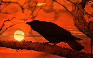 Картинки Рассветы и закаты Вороны Ветвь Солнце Животные