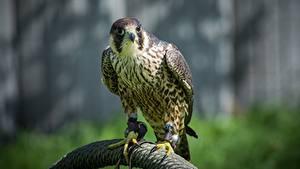 Картинка Птицы Сокол Смотрят животное