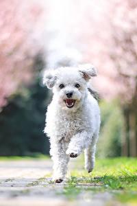 Картинка Собака Мальтезе Белый Бег Боке животное