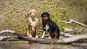 Фотография Собака Вода Две Аусси Ствол дерева
