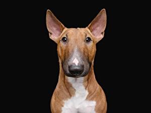 Фотографии Собаки На черном фоне Бультерьер животное