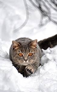 Картинка Коты Снег Серые Животные