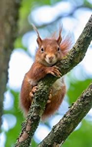 Фотографии Белки Грызуны На ветке Рыжий Смотрят Животные