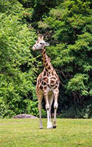 Картинка Парки Жирафы животное