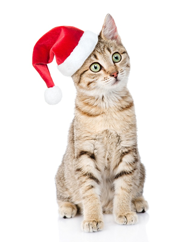 Фото Кошки Новый год в шапке Сидит смотрит животное белым фоном 600x800 кот коты кошка Рождество Шапки шапка сидя сидящие Взгляд смотрят Животные Белый фон белом фоне