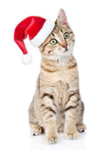 Фото Кошки Новый год В шапке Сидит Белым фоном Смотрит животное
