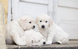 Фотография Собака Голден Втроем Щенки Белая животное
