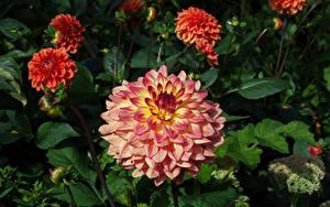 Фотографии Георгины Розовый Цветы