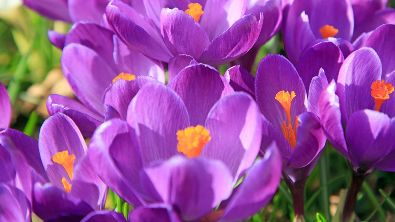 Картинка фиолетовая Цветы Крокусы вблизи 1366x768 фиолетовых фиолетовые Фиолетовый цветок Шафран Крупным планом