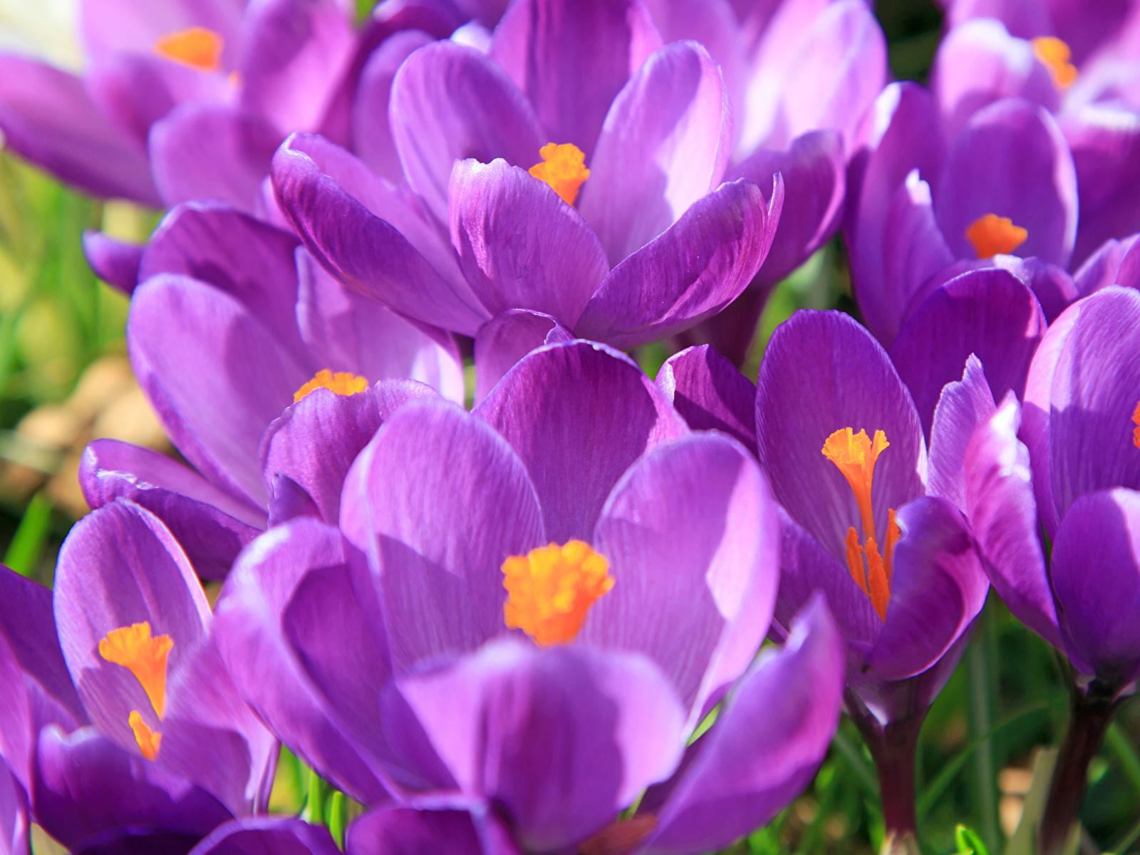 Картинка фиолетовая Цветы Крокусы вблизи 1600x1200 фиолетовых фиолетовые Фиолетовый Шафран Крупным планом