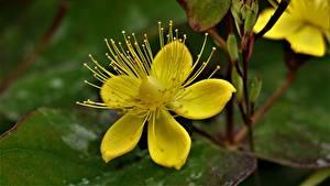 Фотография Вблизи Желтая Hypericum цветок