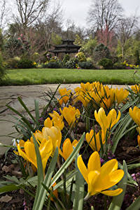 Картинка Англия Сады Шафран Желтые Walsall Garden цветок