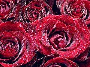 Фотографии Розы Вблизи Красный Капли Цветы